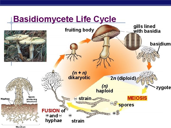 Basidiomycete Life Cycle fruiting body gills lined with basidia basidium (n + n) dikaryotic
