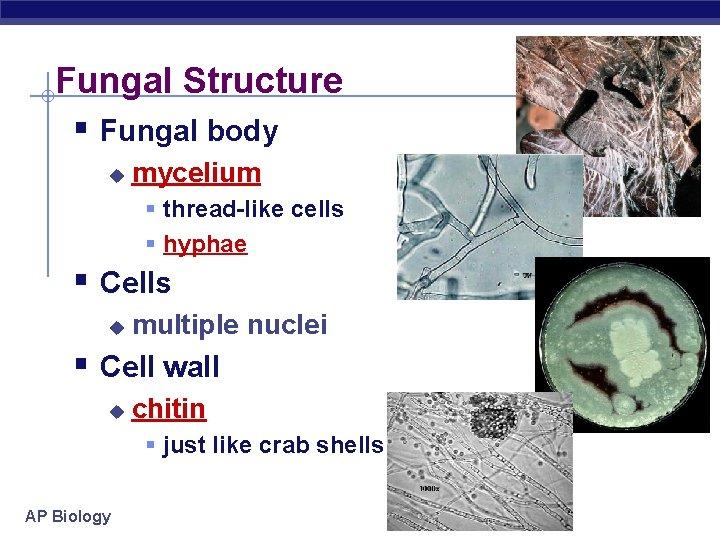 Fungal Structure § Fungal body u mycelium § thread-like cells § hyphae § Cells