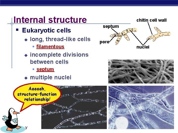 Internal structure § Eukaryotic cells u long, thread-like cells § filamentous u incomplete divisions