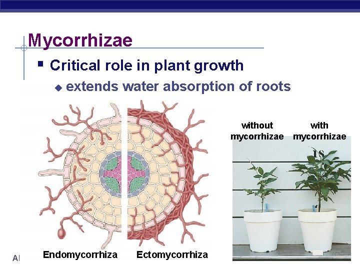 Mycorrhizae § Critical role in plant growth u extends water absorption of roots without