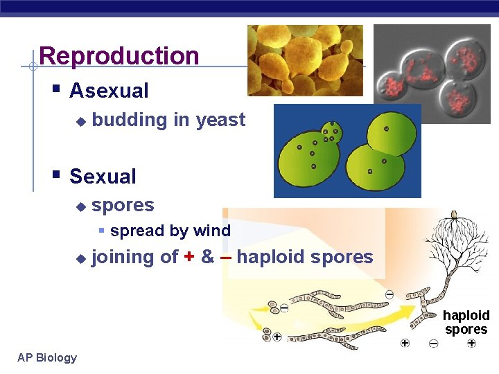 Reproduction § Asexual u budding in yeast § Sexual u spores § spread by