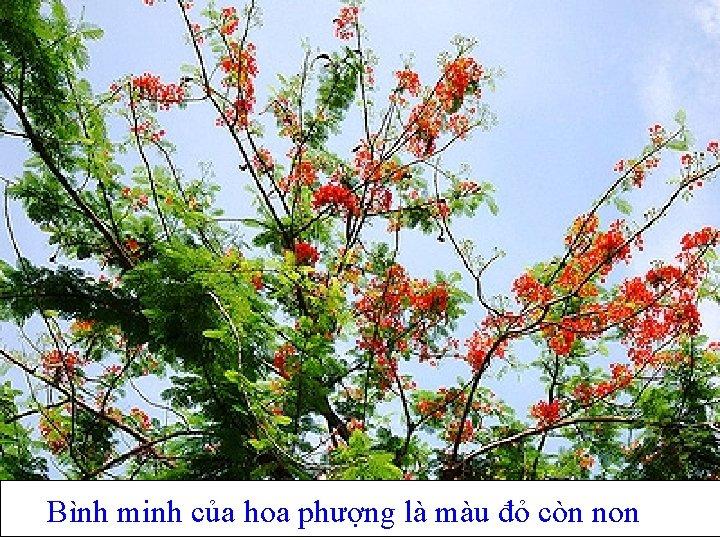 Bình minh của hoa phượng là màu đỏ còn non