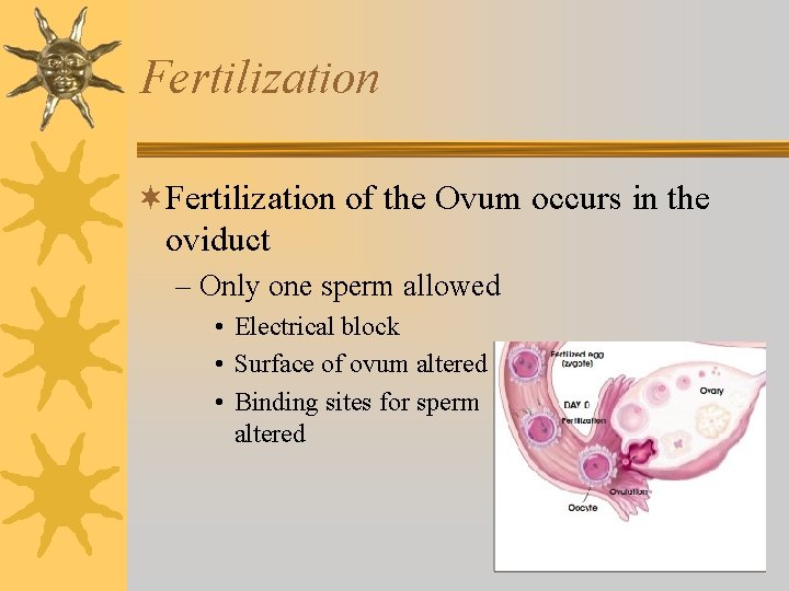 Fertilization ¬Fertilization of the Ovum occurs in the oviduct – Only one sperm allowed