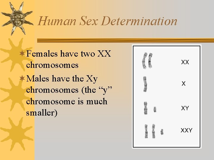 Human Sex Determination ¬Females have two XX chromosomes ¬Males have the Xy chromosomes (the