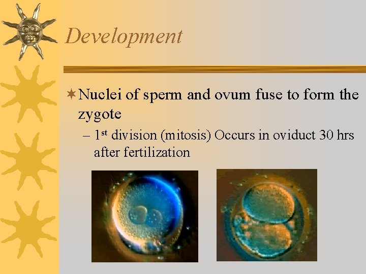 Development ¬Nuclei of sperm and ovum fuse to form the zygote – 1 st