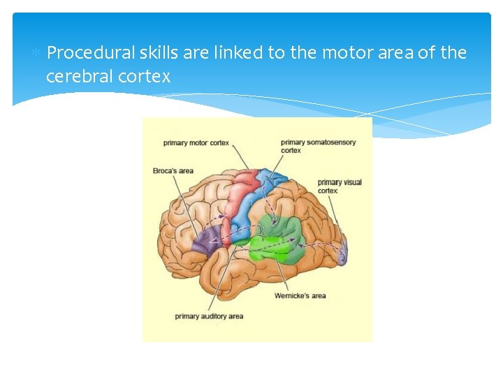 Procedural skills are linked to the motor area of the cerebral cortex