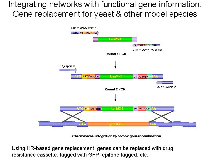 Integrating networks with functional gene information: Gene replacement for yeast & other model species