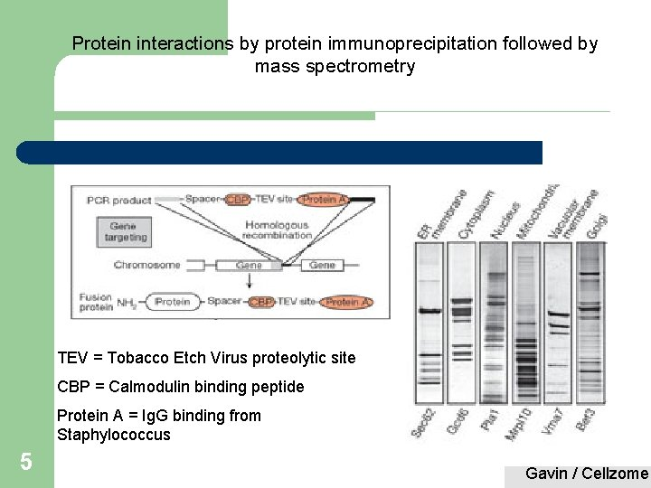 Protein interactions by protein immunoprecipitation followed by mass spectrometry TEV = Tobacco Etch Virus