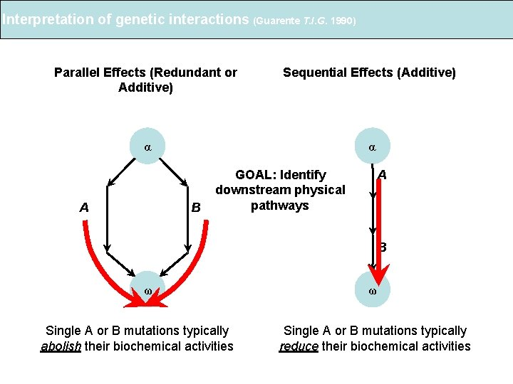 Interpretation of genetic interactions (Guarente T. I. G. 1990) Parallel Effects (Redundant or Additive)