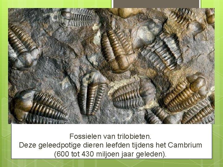 Fossielen van trilobieten. Deze geleedpotige dieren leefden tijdens het Cambrium (600 tot 430 miljoen