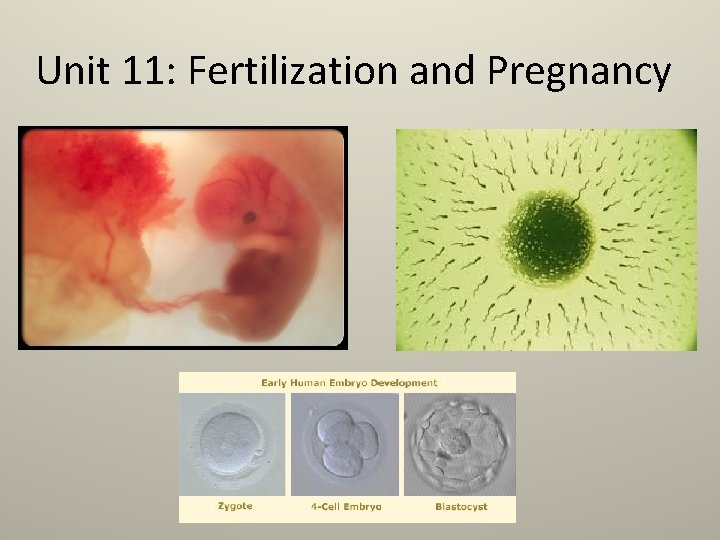 Unit 11: Fertilization and Pregnancy