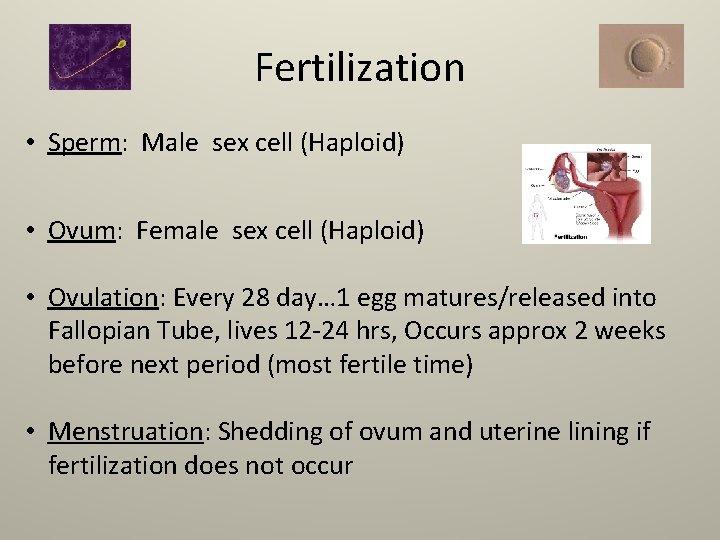 Fertilization • Sperm: Male sex cell (Haploid) • Ovum: Female sex cell (Haploid) •