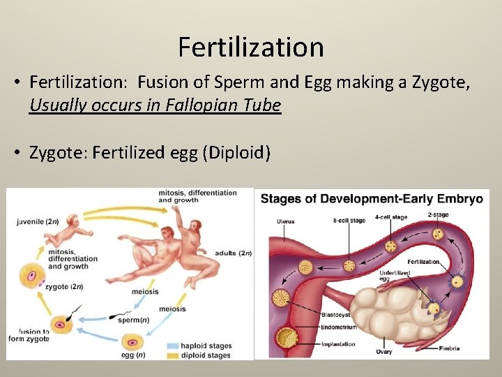 Fertilization • Fertilization: Fusion of Sperm and Egg making a Zygote, Usually occurs in