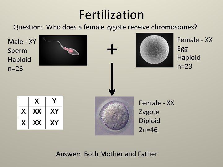 Fertilization Question: Who does a female zygote receive chromosomes? Male - XY Sperm Haploid