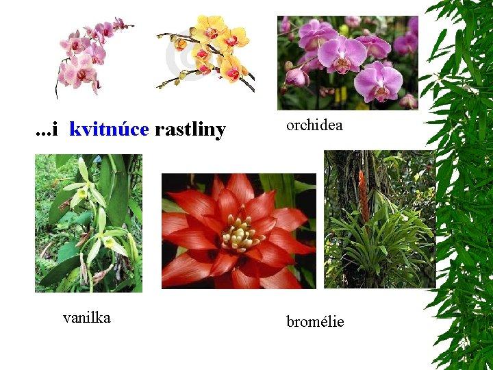 . . . i kvitnúce rastliny vanilka orchidea bromélie