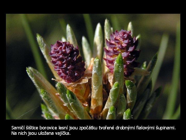 Samičí šištice borovice lesní jsou zpočátku tvořené drobnými fialovými šupinami. Na nich jsou uložena