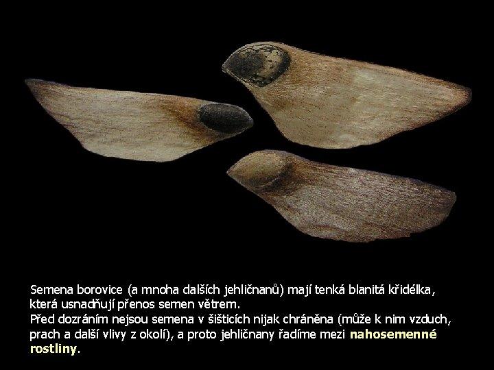 Semena borovice (a mnoha dalších jehličnanů) mají tenká blanitá křidélka, která usnadňují přenos semen