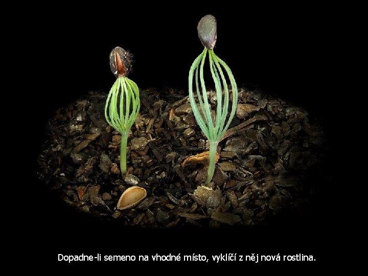 Dopadne-li semeno na vhodné místo, vyklíčí z něj nová rostlina.