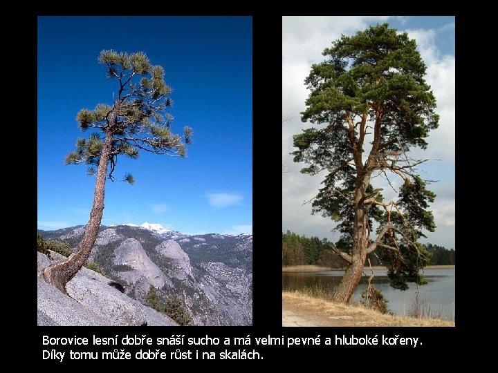 Borovice lesní dobře snáší sucho a má velmi pevné a hluboké kořeny. Díky tomu