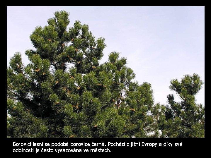 Borovici lesní se podobá borovice černá. Pochází z jižní Evropy a díky své odolnosti