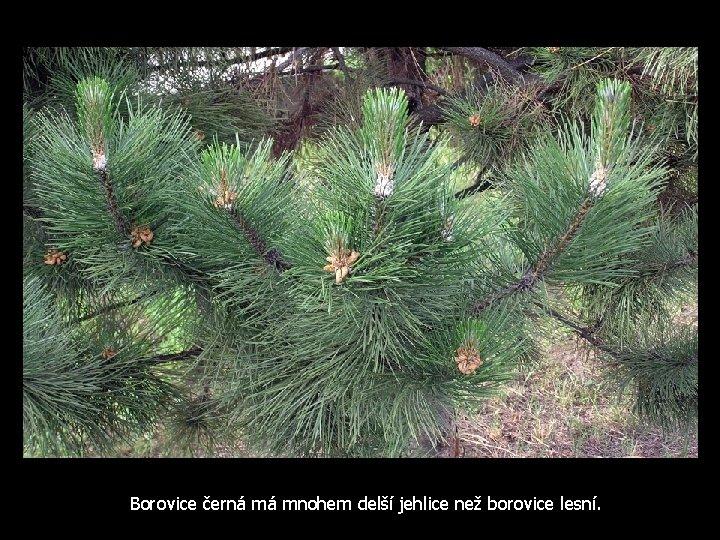 Borovice černá má mnohem delší jehlice než borovice lesní.