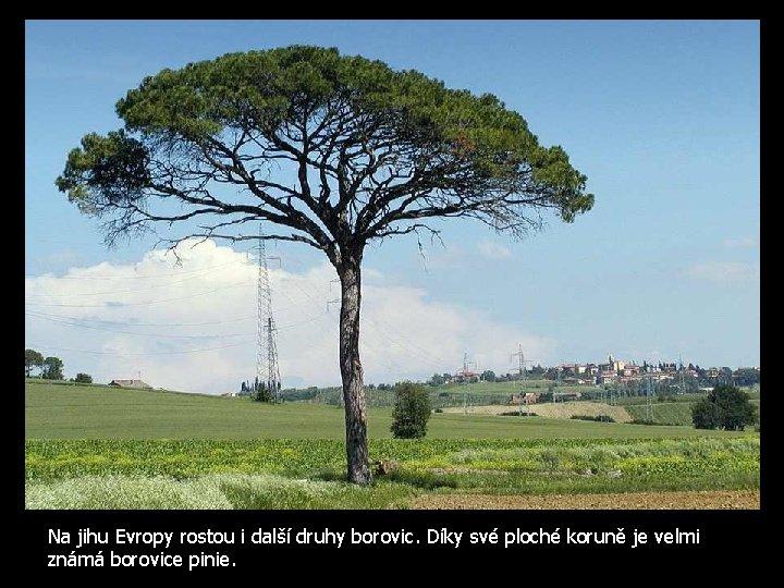 Na jihu Evropy rostou i další druhy borovic. Díky své ploché koruně je velmi