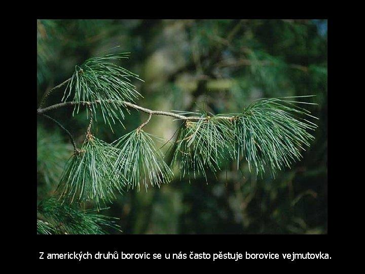 Z amerických druhů borovic se u nás často pěstuje borovice vejmutovka.