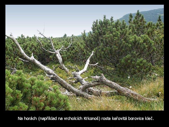 Na horách (například na vrcholcích Krkonoš) roste keřovitá borovice kleč.