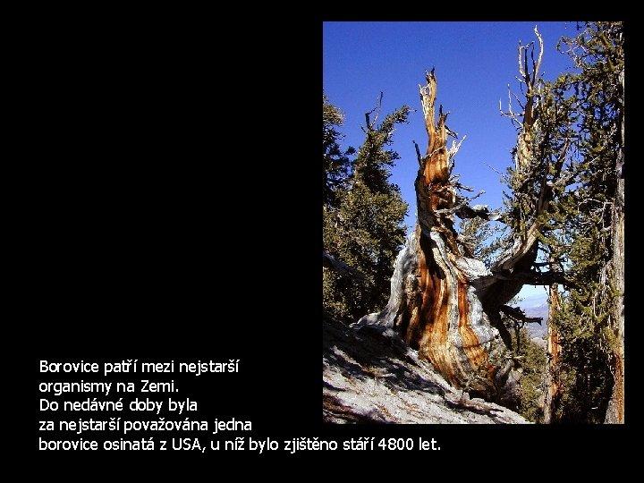 Borovice patří mezi nejstarší organismy na Zemi. Do nedávné doby byla za nejstarší považována
