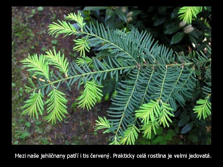 Mezi naše jehličnany patří i tis červený. Prakticky celá rostlina je velmi jedovatá.