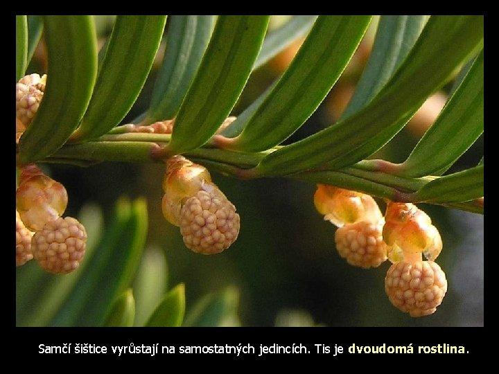 Samčí šištice vyrůstají na samostatných jedincích. Tis je dvoudomá rostlina.