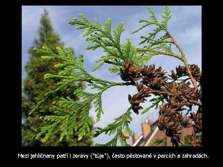 """Mezi jehličnany patří i zeravy (""""túje""""), často pěstované v parcích a zahradách."""
