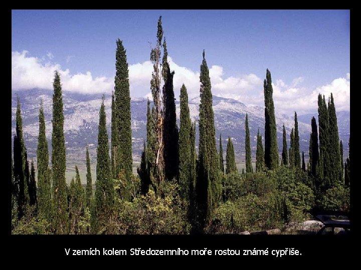 V zemích kolem Středozemního moře rostou známé cypřiše.