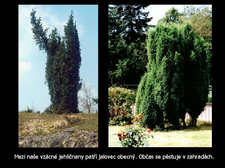 Mezi naše vzácné jehličnany patří jalovec obecný. Občas se pěstuje v zahradách.