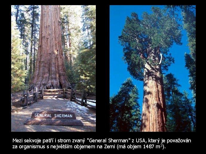 """Mezi sekvoje patří i strom zvaný """"General Sherman"""" z USA, který je považován za"""