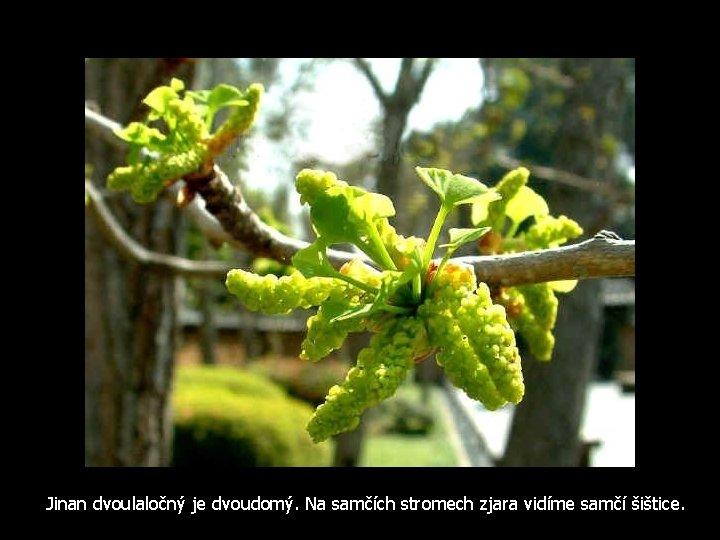 Jinan dvoulaločný je dvoudomý. Na samčích stromech zjara vidíme samčí šištice.