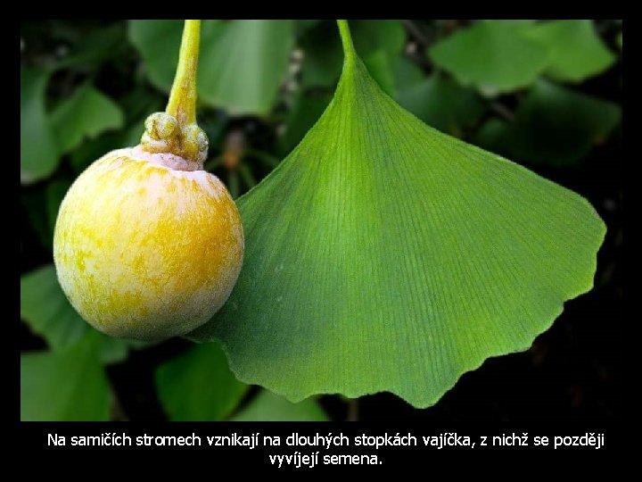 Na samičích stromech vznikají na dlouhých stopkách vajíčka, z nichž se později vyvíjejí semena.
