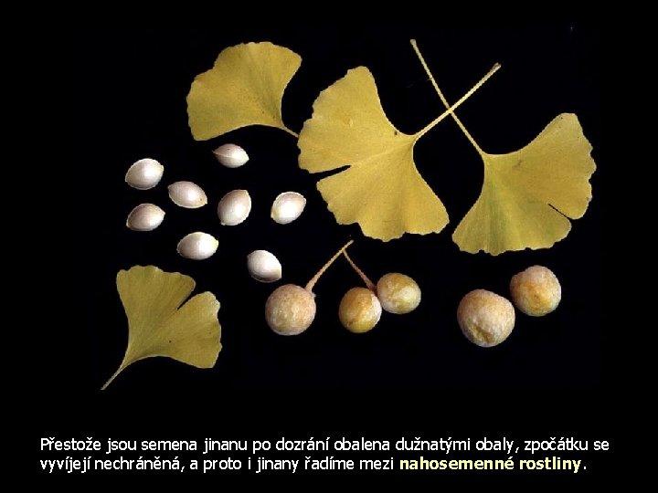 Přestože jsou semena jinanu po dozrání obalena dužnatými obaly, zpočátku se vyvíjejí nechráněná, a