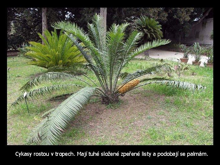 Cykasy rostou v tropech. Mají tuhé složené zpeřené listy a podobají se palmám.