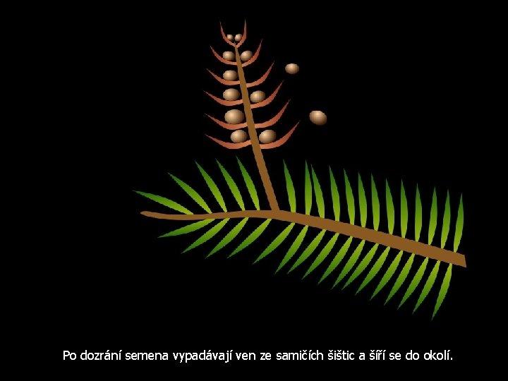 Po dozrání semena vypadávají ven ze samičích šištic a šíří se do okolí.