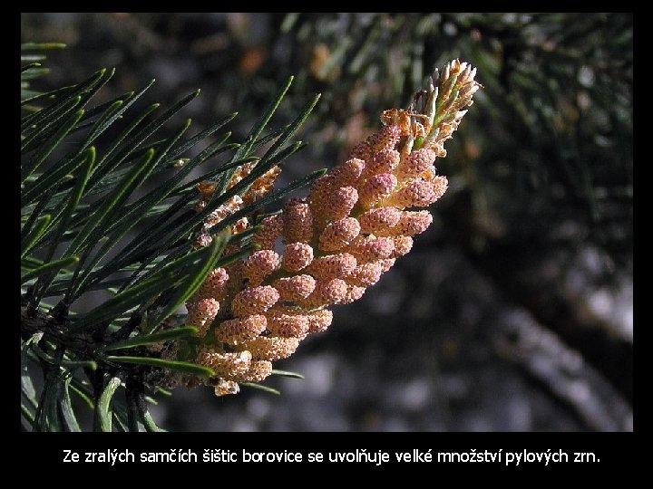Ze zralých samčích šištic borovice se uvolňuje velké množství pylových zrn.
