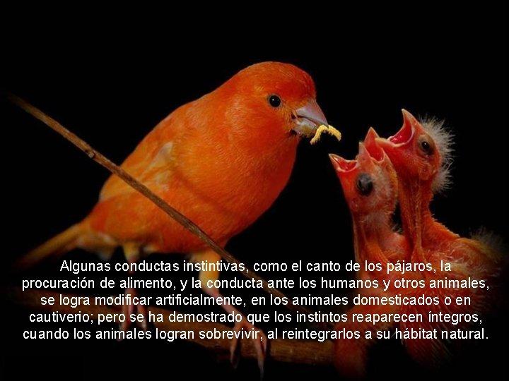 Algunas conductas instintivas, como el canto de los pájaros, la procuración de alimento, y