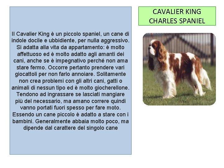 CAVALIER KING CHARLES SPANIEL Il Cavalier King è un piccolo spaniel, un cane di