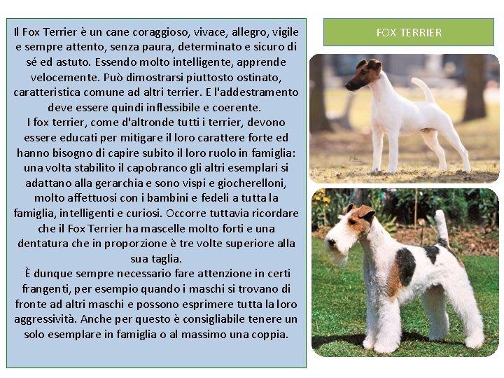 Il Fox Terrier è un cane coraggioso, vivace, allegro, vigile e sempre attento, senza