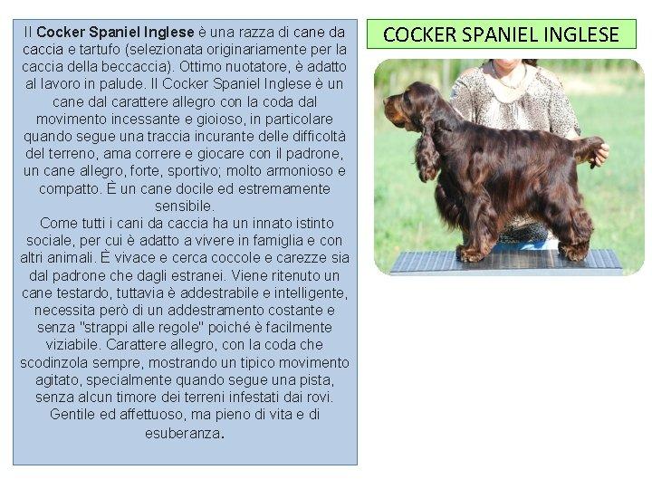 Il Cocker Spaniel Inglese è una razza di cane da caccia e tartufo (selezionata