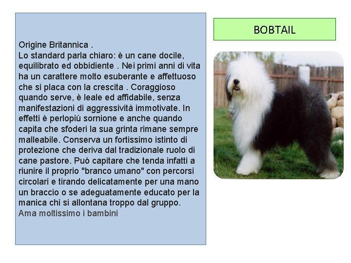 BOBTAIL Origine Britannica. Lo standard parla chiaro: è un cane docile, equilibrato ed obbidiente.