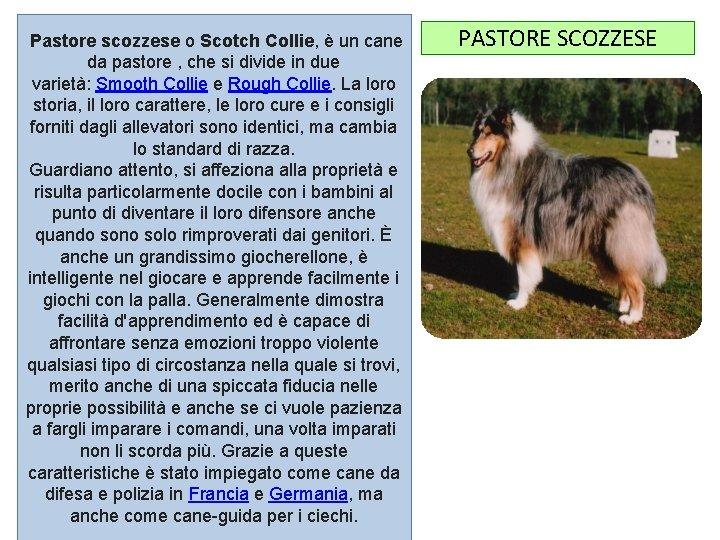 Pastore scozzese o Scotch Collie, è un cane da pastore , che si