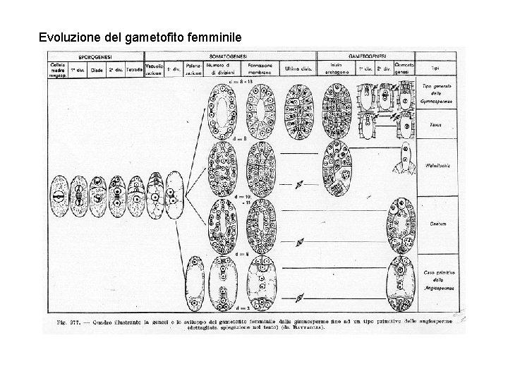 Evoluzione del gametofito femminile