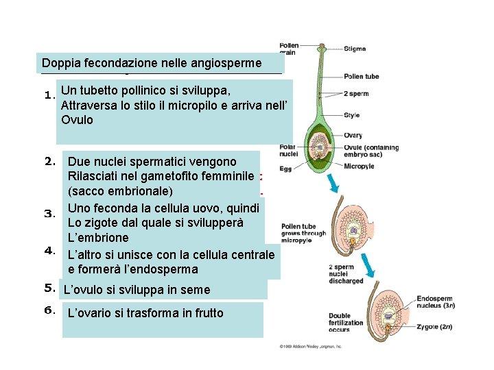 Doppia fecondazione nelle angiosperme Un tubetto pollinico si sviluppa, Attraversa lo stilo il micropilo