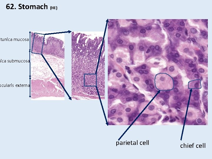 62. Stomach (HE) tunica mucosa nica submucosa scularis externa parietal cell chief cell